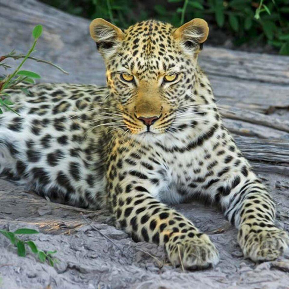 leopards in Yala national park