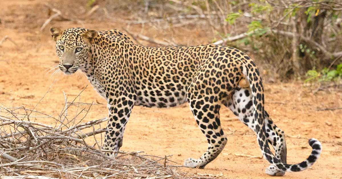 leopard_in_udawalawe_national_park