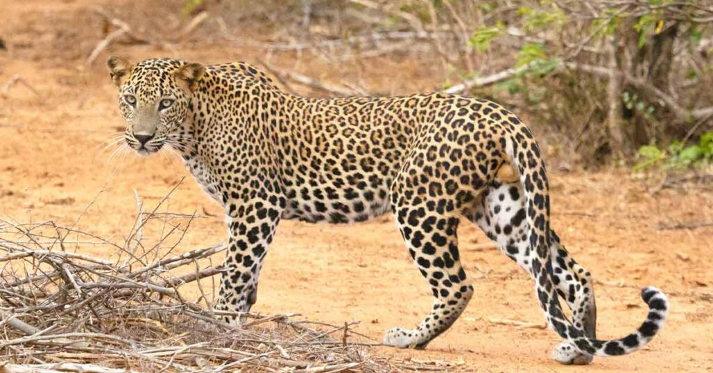 wilpattu-national-park-and-leopards